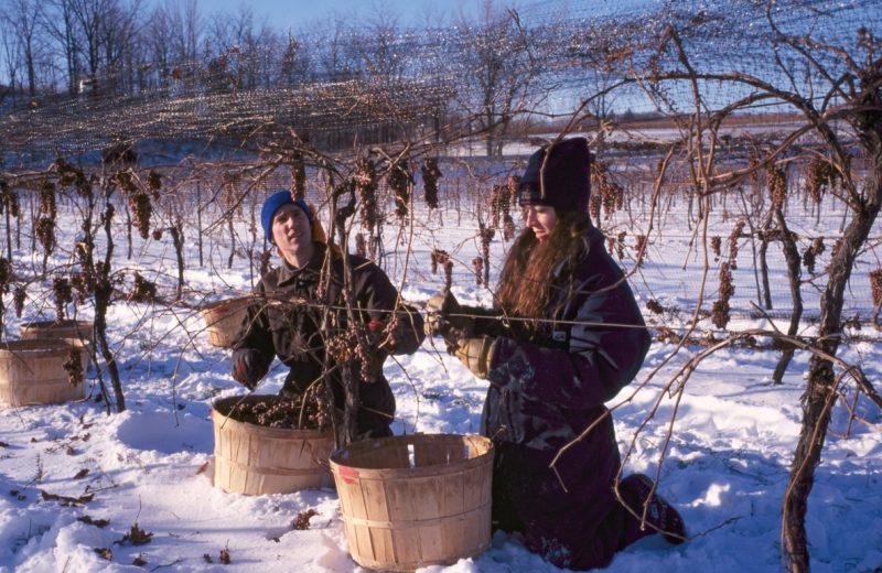 Colheita em vinhedo congelado em Ontário, no Canadá. | Foto: Reprodução / www.scmp.com