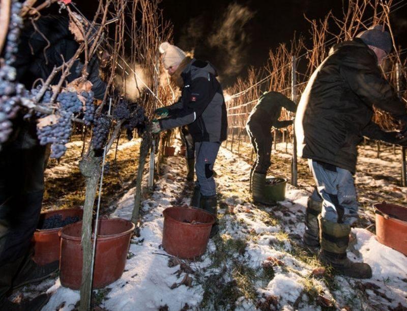 Colheita noturna para ice wine