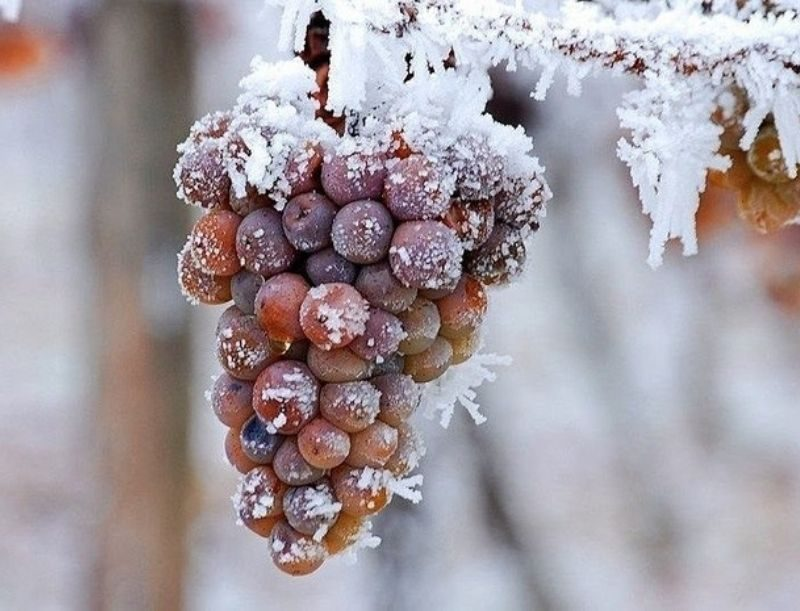 Uva congelada para ice wine